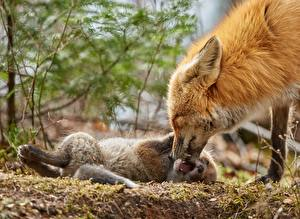 Wallpapers Foxes Cubs 2