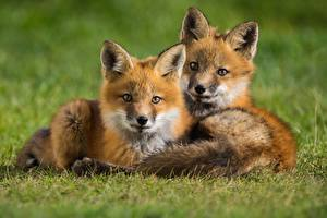 Wallpapers Foxes Cubs Two Grass Laying Staring