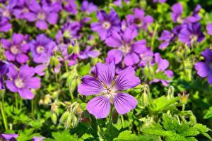 Desktop hintergrundbilder Storchschnäbel Großansicht Viel Violett Blüte