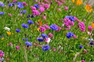 Bilder Grünland Flockenblumen Viel Sommer Blau Rosa Farbe Blumen