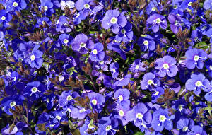 Photo Many Violet Aubretia flower