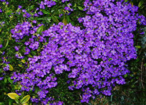 Pictures Many Violet Aubretia flower