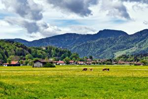 Pictures Mountain Meadow Cow Germany Village Bavaria Aschau im Chiemgau, Rosenheim Nature