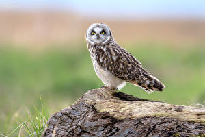 Hintergrundbilder Eule Vogel Starren Unscharfer Hintergrund Short-eared Owl Tiere