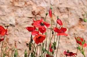 Photo Poppies Blurred background Flower-bud Red flower