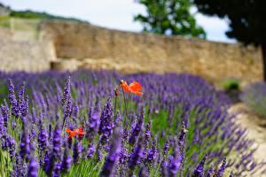 Fotos Mohn Lavendel Bokeh Blumen
