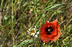 Fotos & Bilder Mohn Rot Knospe Blumen