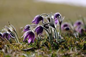Картинка Прострел Вблизи Боке Фиолетовая цветок