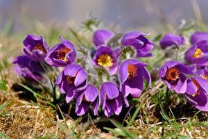 Fotos & Bilder Kuhschellen Großansicht Violett Blumen