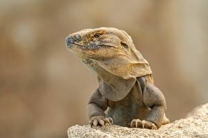 Pictures Reptiles Iguana Head Paws Staring animal