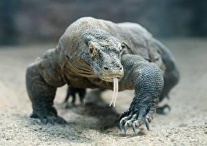 Desktop hintergrundbilder Reptilien Blick Zunge Pfote Bokeh Komodo dragon Tiere