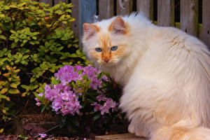 Wallpapers Rhododendron Cats White animal