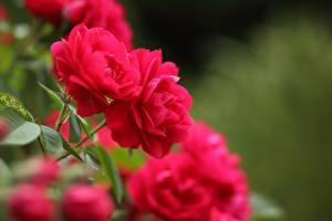 Bilder Rosen Rot Unscharfer Hintergrund Blumen