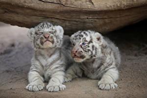 Picture Siberian tiger Cubs Two Paws Lying down