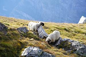Wallpaper Stone Sheep Grass 2