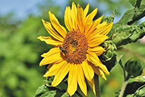 Fotos Sonnenblumen Bienen Insekten Unscharfer Hintergrund Gelb Blüte