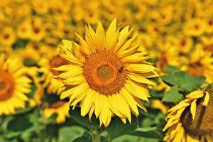 Bilder Sonnenblumen Unscharfer Hintergrund Gelb Blüte