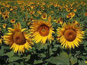 Bilder Sonnenblumen Acker Gelb Blumen