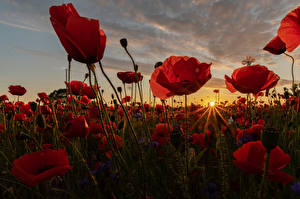 Picture Sunrises and sunsets Fields Papaver Closeup Many Rays of light Sun Nature