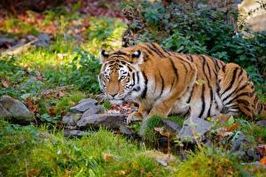 Bilder Tiger Stein Bäche Gras Starren ein Tier