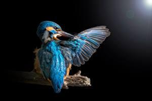 Bilder Vögel Eisvogel Flügel Schwarzer Hintergrund ein Tier