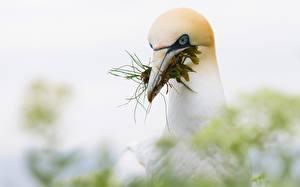 Fotos Vögel Schnabel Kopf Northern Gannet ein Tier