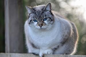 Bilder Hauskatze Großansicht Bokeh Starren Burmilla Tiere