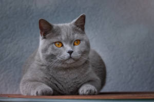 Fotos Katze Grau Starren Schnauze Tiere