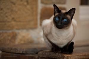 Fotos Katze Starren Bokeh Jack Russell, Thai Tiere