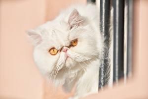 Картинка Коты Персидский кот Белый Смотрят Недовольство Животные