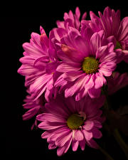 Image Chrysanthemums Closeup Black background Pink color flower