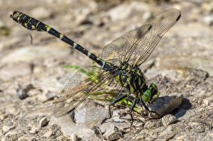 Fotos Großansicht Libellen Insekten Tiere