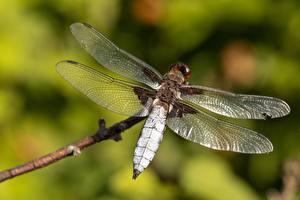 Fotos Großansicht Libellen Insekten Unscharfer Hintergrund Flügel Tiere
