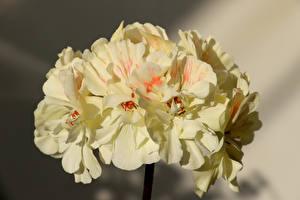 Fotos Großansicht Pelargonium Blumen
