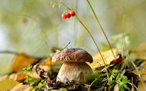 Desktop wallpapers Closeup Boletus edulis Bokeh Nature