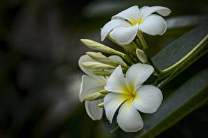 Images Closeup Plumeria Blurred background White Flowers