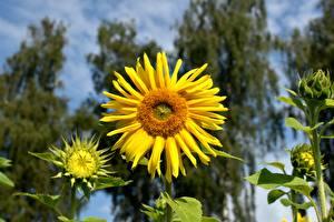 Fotos Großansicht Sonnenblumen Bokeh Gelb Blumen