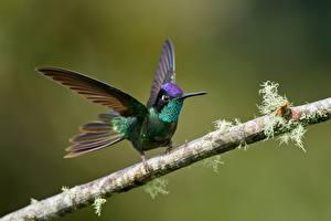 Hintergrundbilder Kolibris Vögel Ast ein Tier