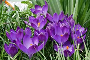 Bilder Krokusse Großansicht Violett Blumen