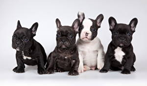 Pictures Dog French Bulldog Gray background Puppy Sit Staring Four 4