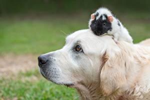 Bilder Hund Hausmeerschweinchen Labrador Retriever