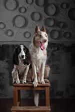 Hintergrundbilder Hund Zwei Border Collie Spaniel Zunge