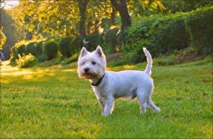Bilder Hunde Weiß West Highland White Terrier