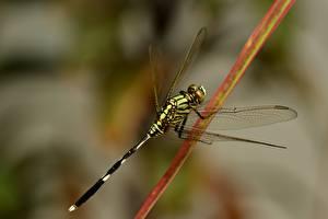 Bilder Libellen Insekten Hautnah Unscharfer Hintergrund Tiere