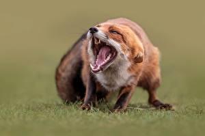 Fotos Füchse Eckzahn Grinsen Zunge Unscharfer Hintergrund