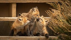Wallpapers Foxes Cubs Three 3