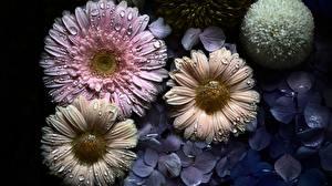 Bilder Gerbera Tropfen Blumen