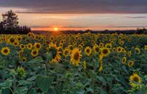 Picture Germany Sunflowers Fields Sunrises and sunsets Sun Herforst