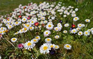 Wallpapers Grasslands Camomiles Many Bellis