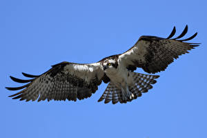Desktop hintergrundbilder Habicht Vögel Flug osprey ein Tier